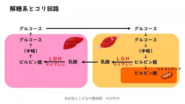 解糖系とLDH、疲れやすい理由