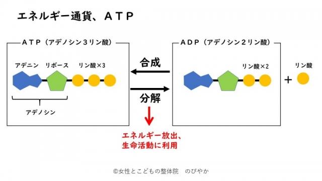 生きるのに必要な「ATP」